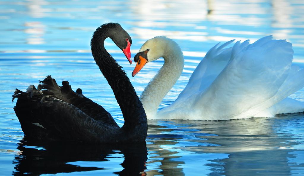 cisne negro e branco -falsificacionismo de Popper